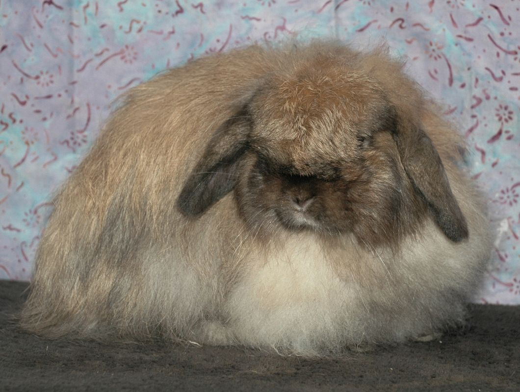 american fuzzy lop does laplop rabbitry